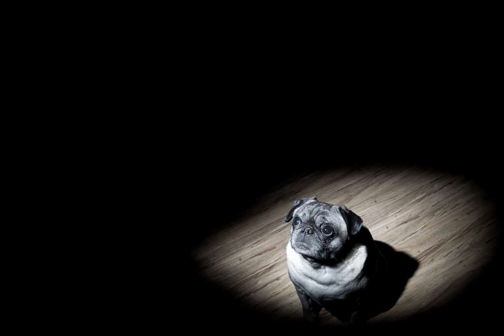 Dog in spotlight