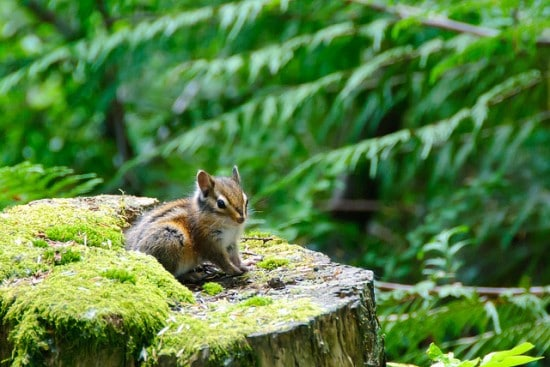 Chipmunk hiding in a stump, easy to miss